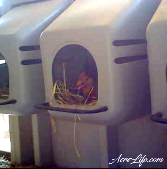 Buff Orpington in a Nesting Box - AcreLife