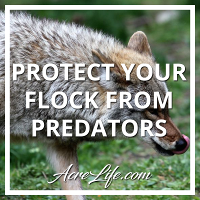 How to identify predators and protect your chickens.