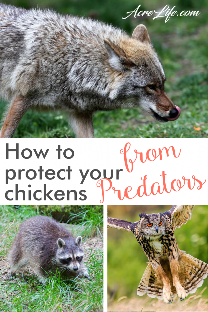 How to protect your chickens from predators - Acre Life