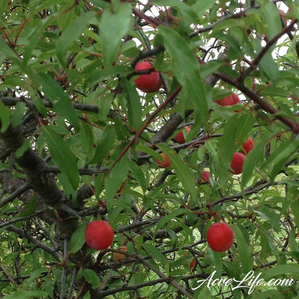 Oklahoma Sand Plums - AcreLife