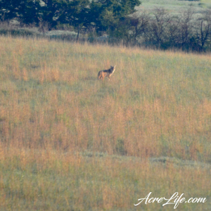 Coyote in our field - Acre Life