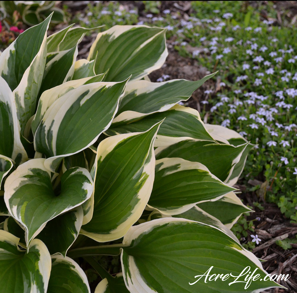 Hosta - AcreLife