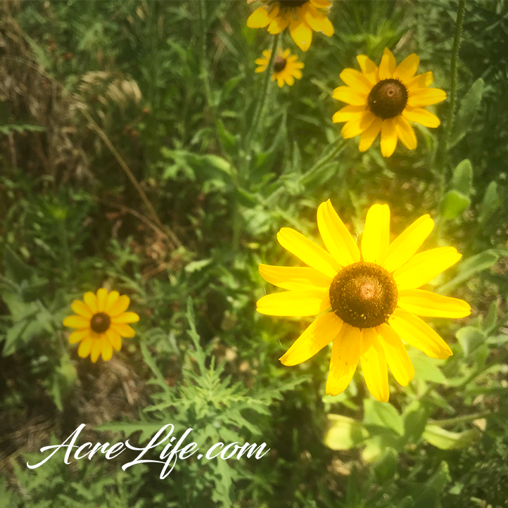 Black Eyed Susan Wildflowers - Acre Life