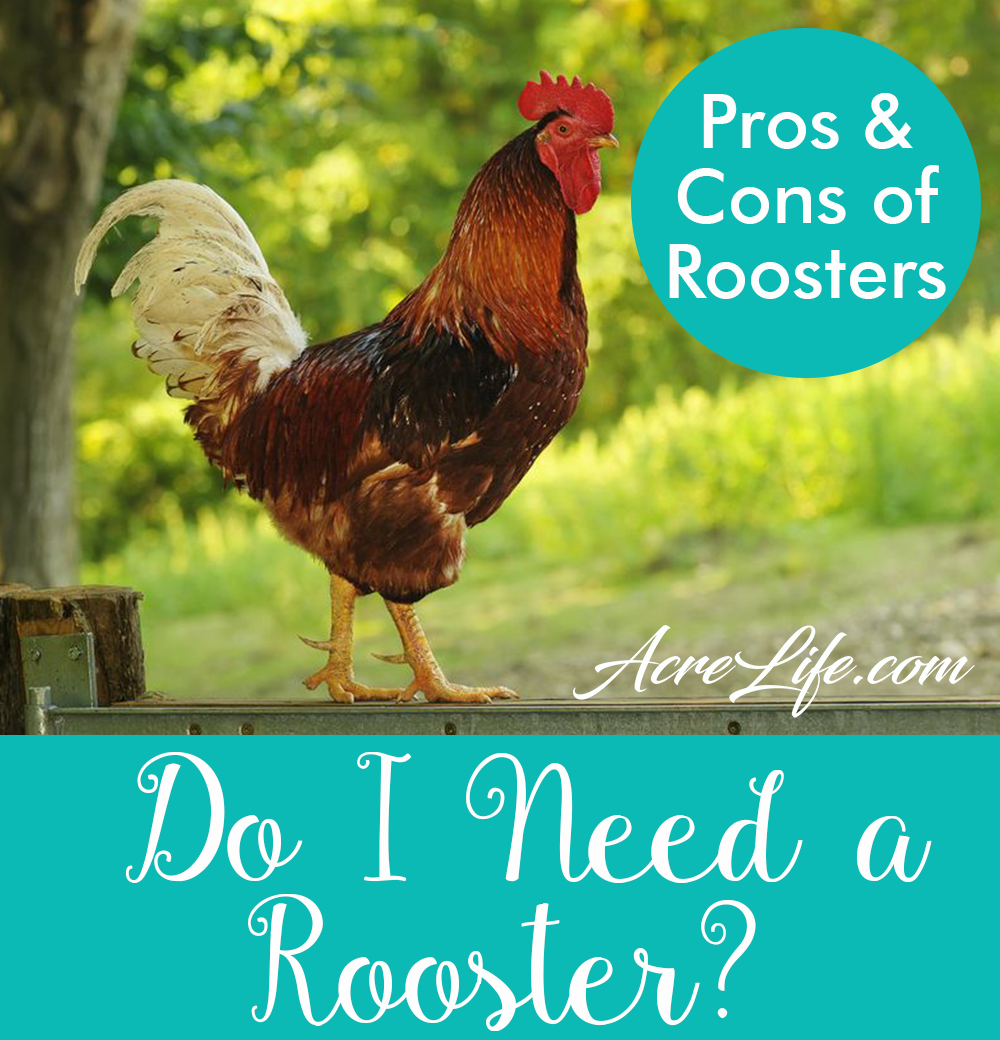 Do I Need A Rooster - AcreLife