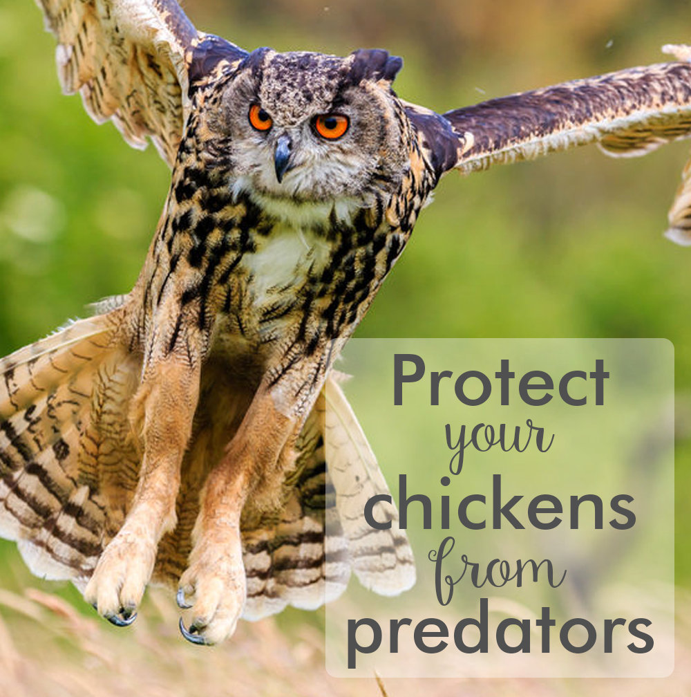 How to protect your chickens from predators