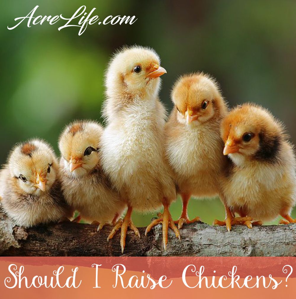 Should You Raise Chickens? Practical guide to choosing if chickens are right for you.