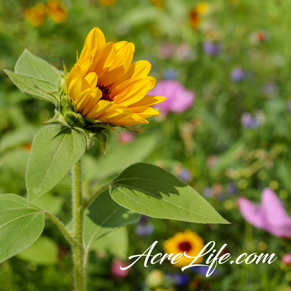 Planting-Wildflowers-Acre-Life