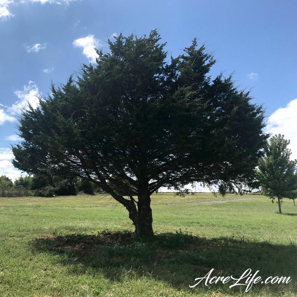 Trimming Cedar Trees