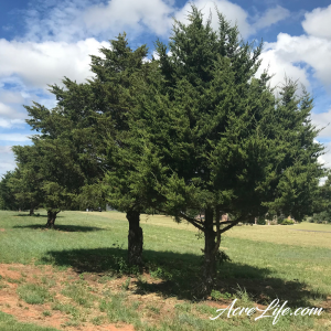 Trimmed Cedar Trees - Acre Life
