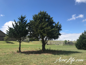 Trimmed Cedar Trees - Acre Life