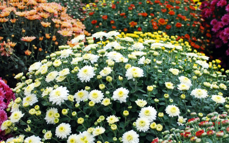 Mums - Acre Life