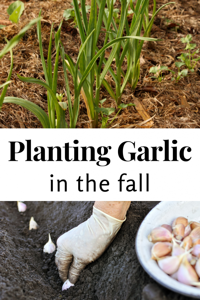 Planting Garlic in the Fall - Acre Life