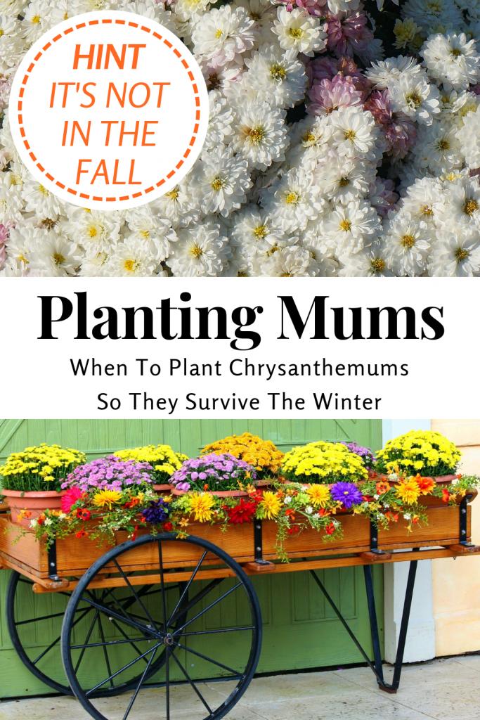 Planting Chrysanthemums - Mums - Acre Life
