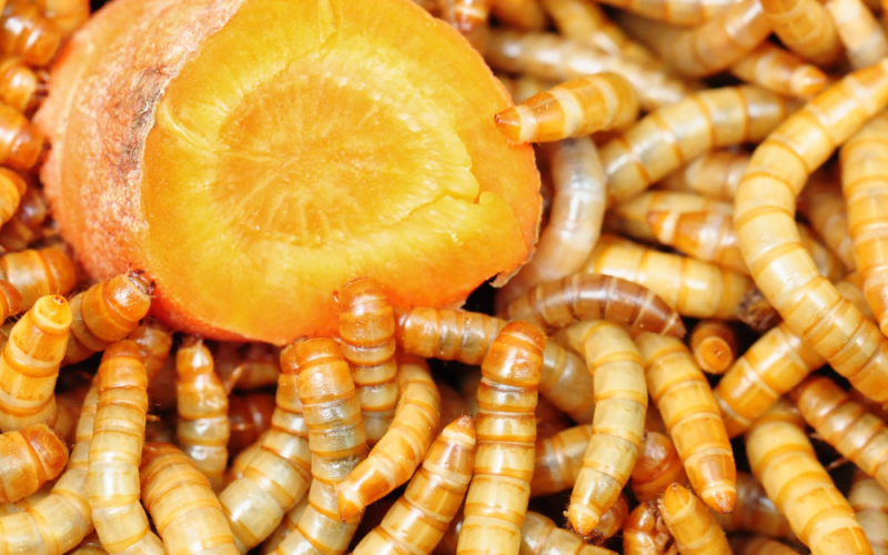 Mealworms with carrot