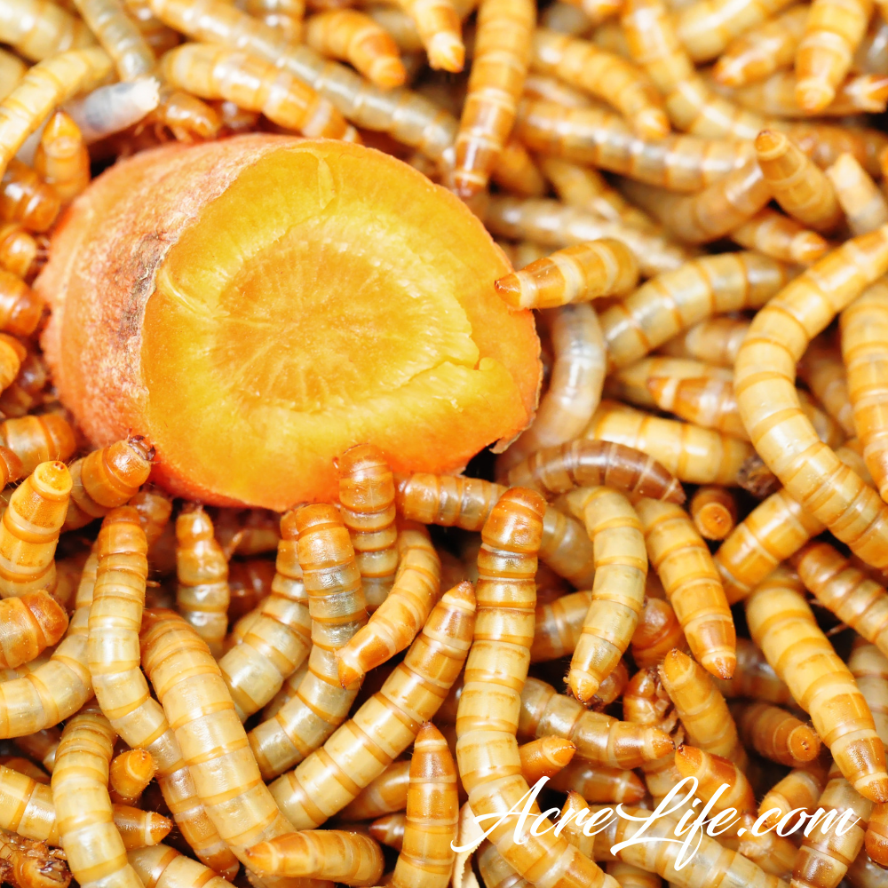 Why you should raise mealworms - mealworms with carrot