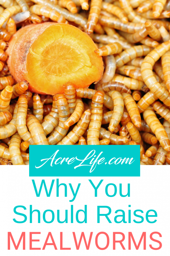 Why you should raise mealworms.