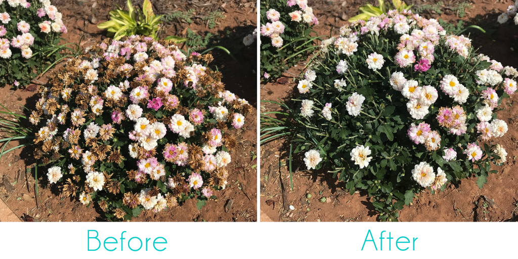 Before and After Deadheading Pink Chrysanthemums