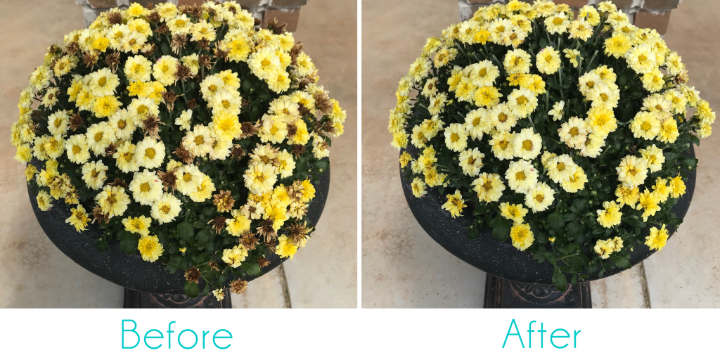 Before and After Deadheading Yellow Chrysanthemums