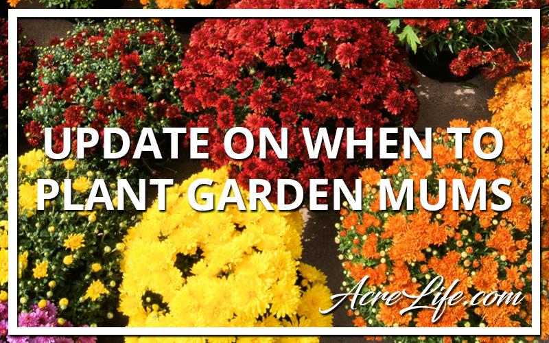 Update On When To Plant Garden Mums