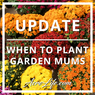 Update On When To Plant Garden Mums