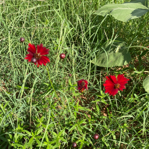 Red Cosmos - Acre Life