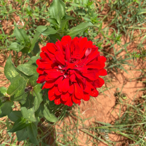 Red Zinnia - Acre Life