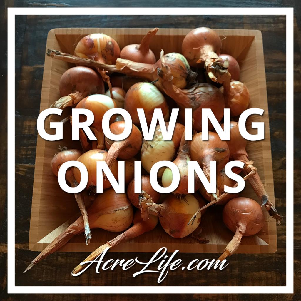 Onion Harvest - Acre Life