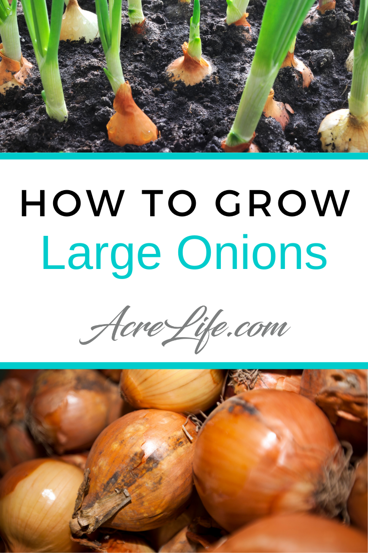 Tips on how to grow large onions in your vegetable garden