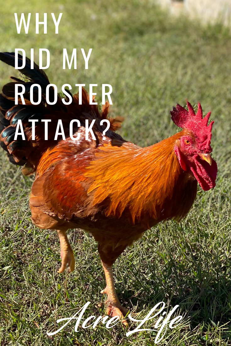 Tips on how to keep your rooster from attacking you.