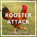 Rooster Attack - Acre Life