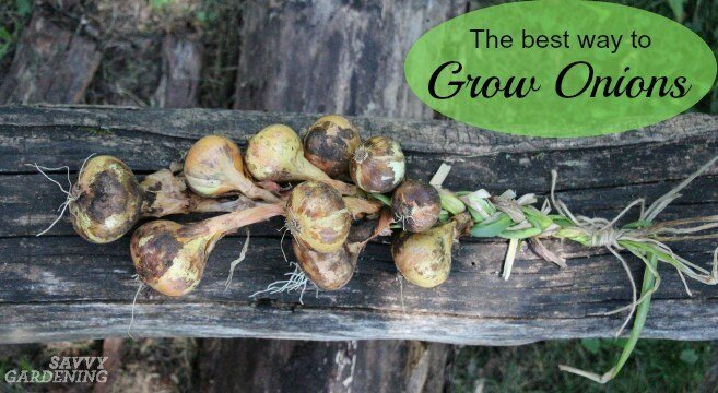 Savvy Gardening The Best Way to Grow Onions