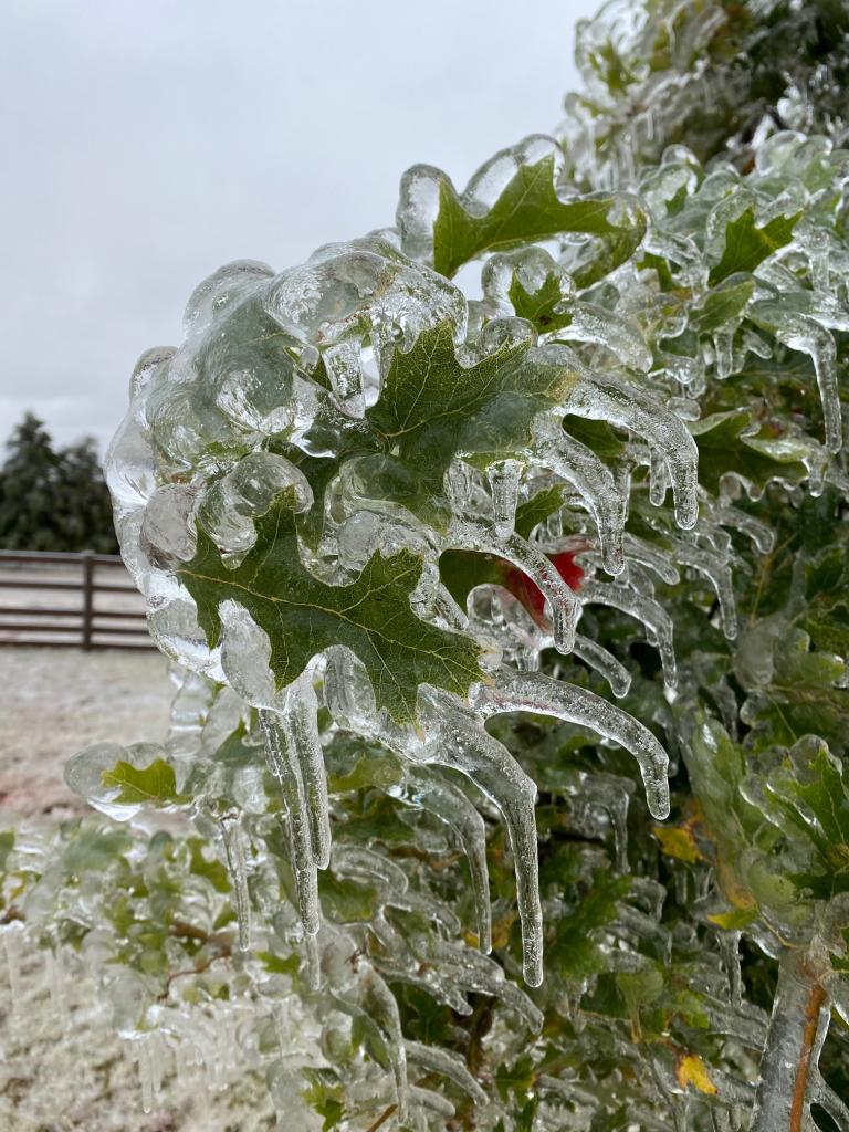 Ice on Oak Tree - Acre Life Power Outage