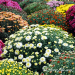 Chrysanthemums: When To Plant Garden Mums
